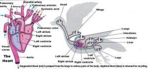 Avian-Circulatory