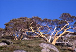 lm_prostrate_tree_glenda_ocarrolla