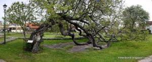 Torekov - The Tree that Sat Down_thumb[2]