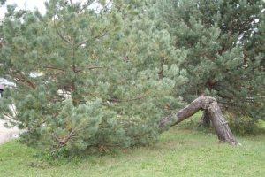 tree_prostration