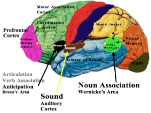 brocas-area-brains-speech-center